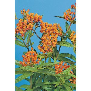 Butterfly Milkweed Asclepias