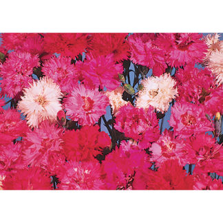 Double Spring Beauty Mixed Dianthus