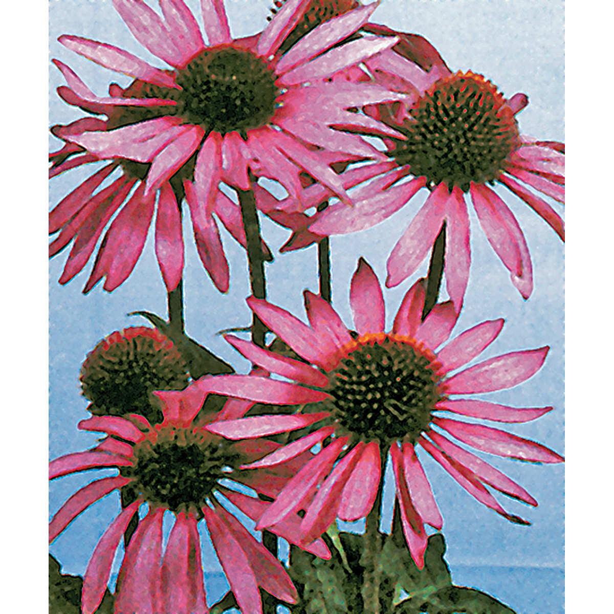 Purple Coneflower Echinacea Seeds Ne Seed