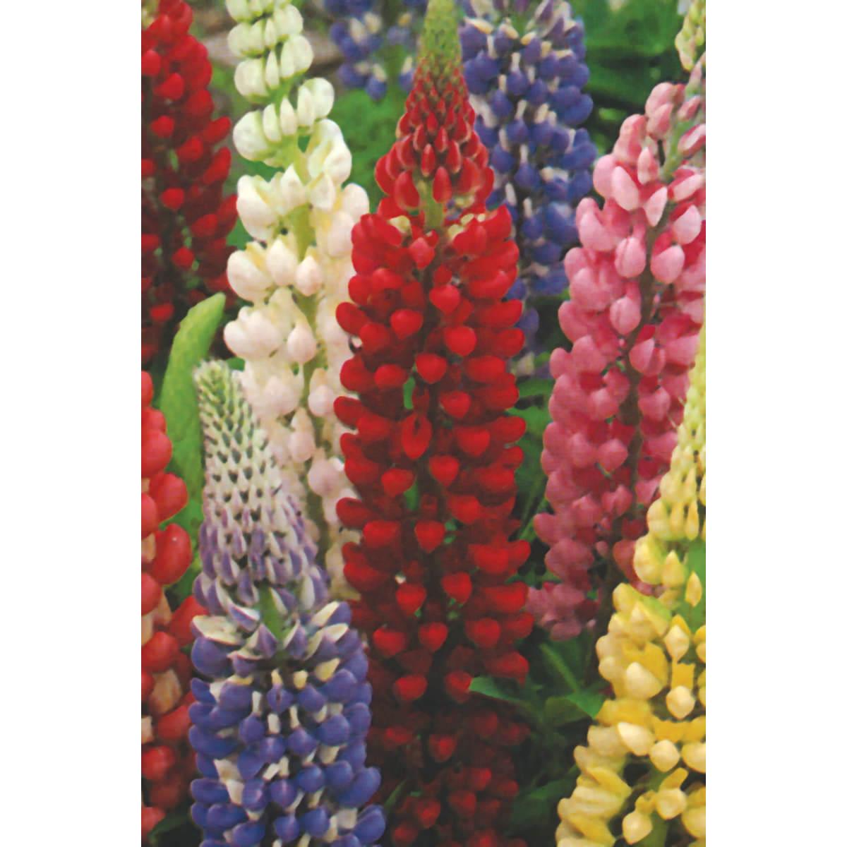 Russell Strain Mixed Lupine Seeds Ne Seed