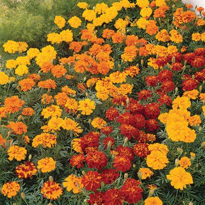 Durango Mix Marigold
