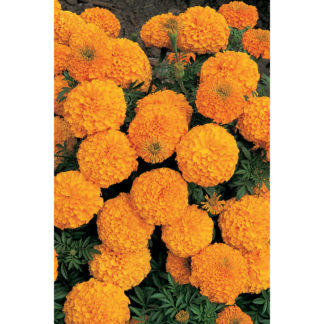Inca II Orange Hybrid Marigold
