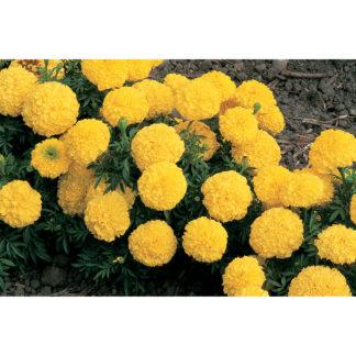 Inca II Yellow Hybrid Marigold