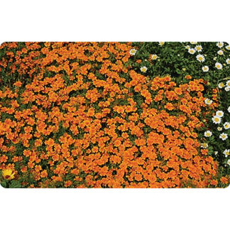 Orange Gem Signet Type Marigold