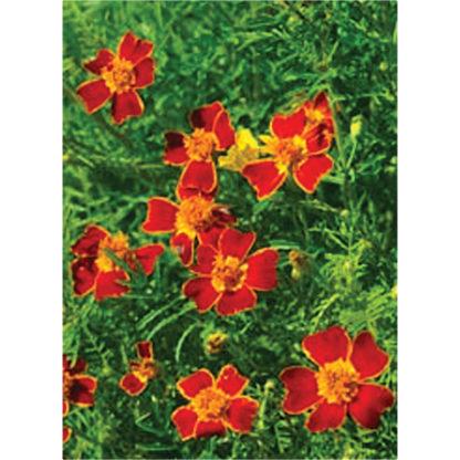 Red Gem Signet Type Marigold