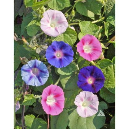 Mixed Colors Morning Glory Seeds