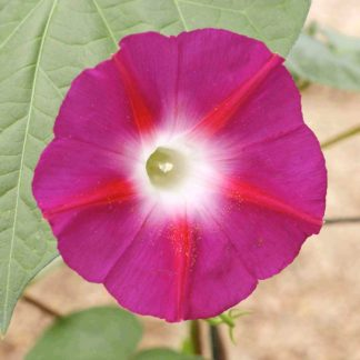 Scarlet O'Hara Morning Glory Seeds