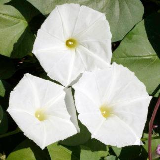 Moonflower White Morning Glory Seeds