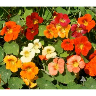 Tom Thumb Mix Nasturtium Seeds