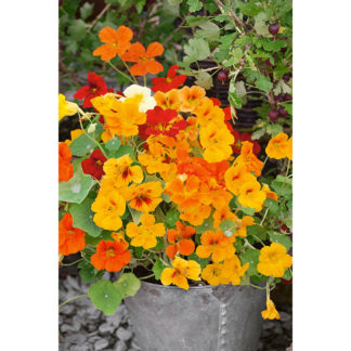 Jewel Mixed Nasturtium
