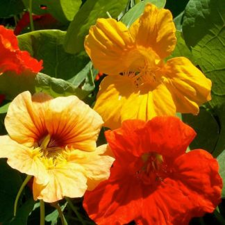 Tall Single Mix Trailing Nasturtium Seeds