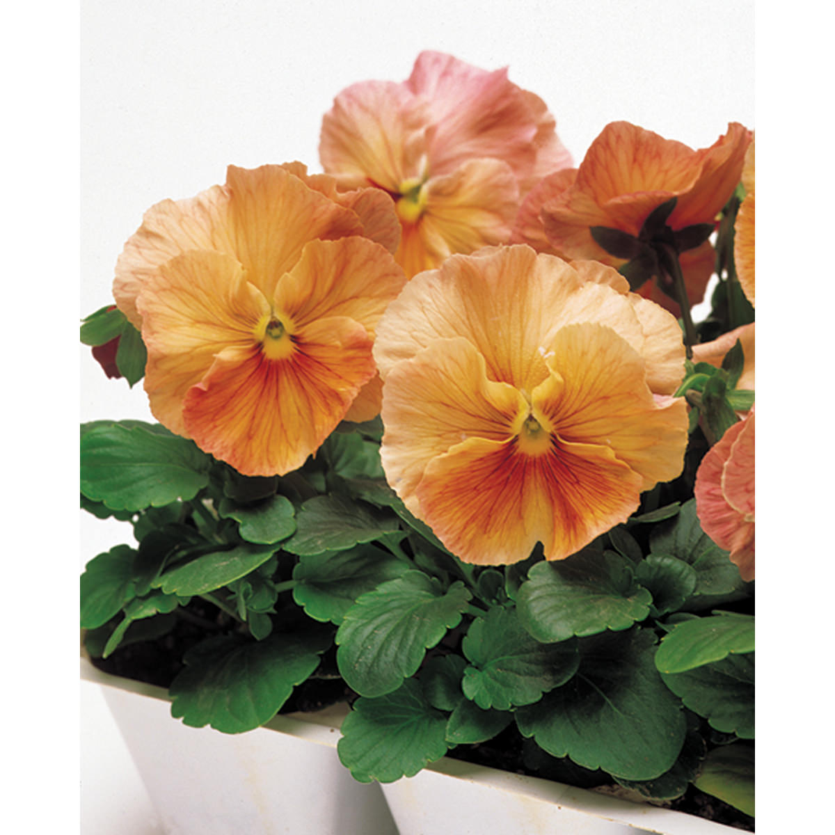 Imperial Antique Shades Mix Pansy Seeds Ne Seed