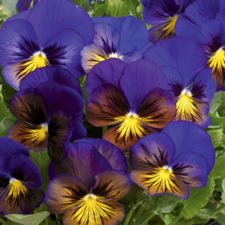 Karma Blue Butterfly with Yellow Whiskers Pansy
