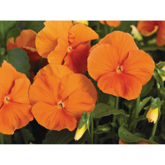Karma Deep Orange Pansy