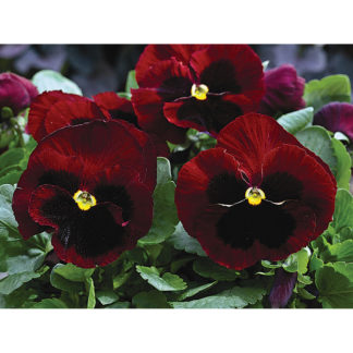 Mammoth Hybrid Big Red Pansy