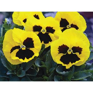 Mammoth Hybrid Queen Yellow Bee Pansy