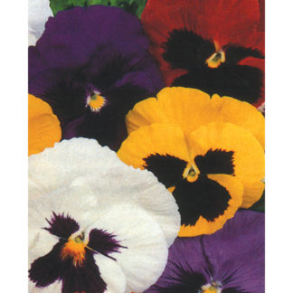 Swiss Giant Mix Pansy