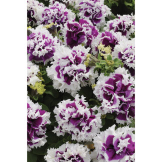 Pirouette Purple Double Grandiflora Hybrid Petunia