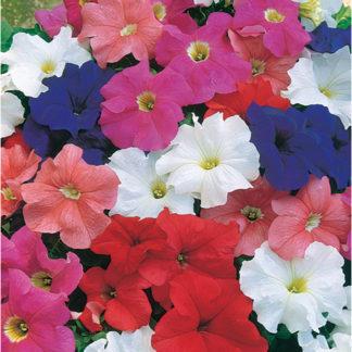 Dreams Mix Single Grandiflora Hybrid Petunia