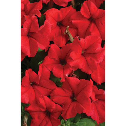 Supercascade Red Petunia Single Grandiflora Hybrid