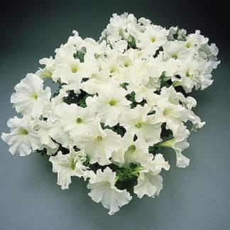 Supercascade White Petunia Single Grandiflora Hybrid