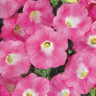 Wave Pink Groundcover Petunia