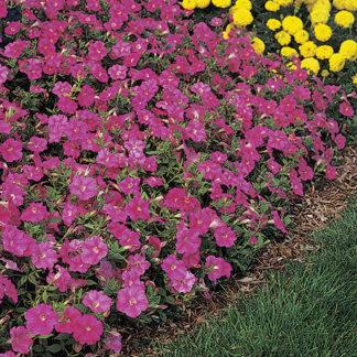 Wave Rose Groundcover Petunia