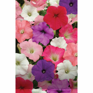 Easy Wave Mix Single Trailing Hybrid Petunia