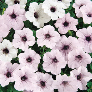 Tidal Wave Silver Hedge Type Petunia