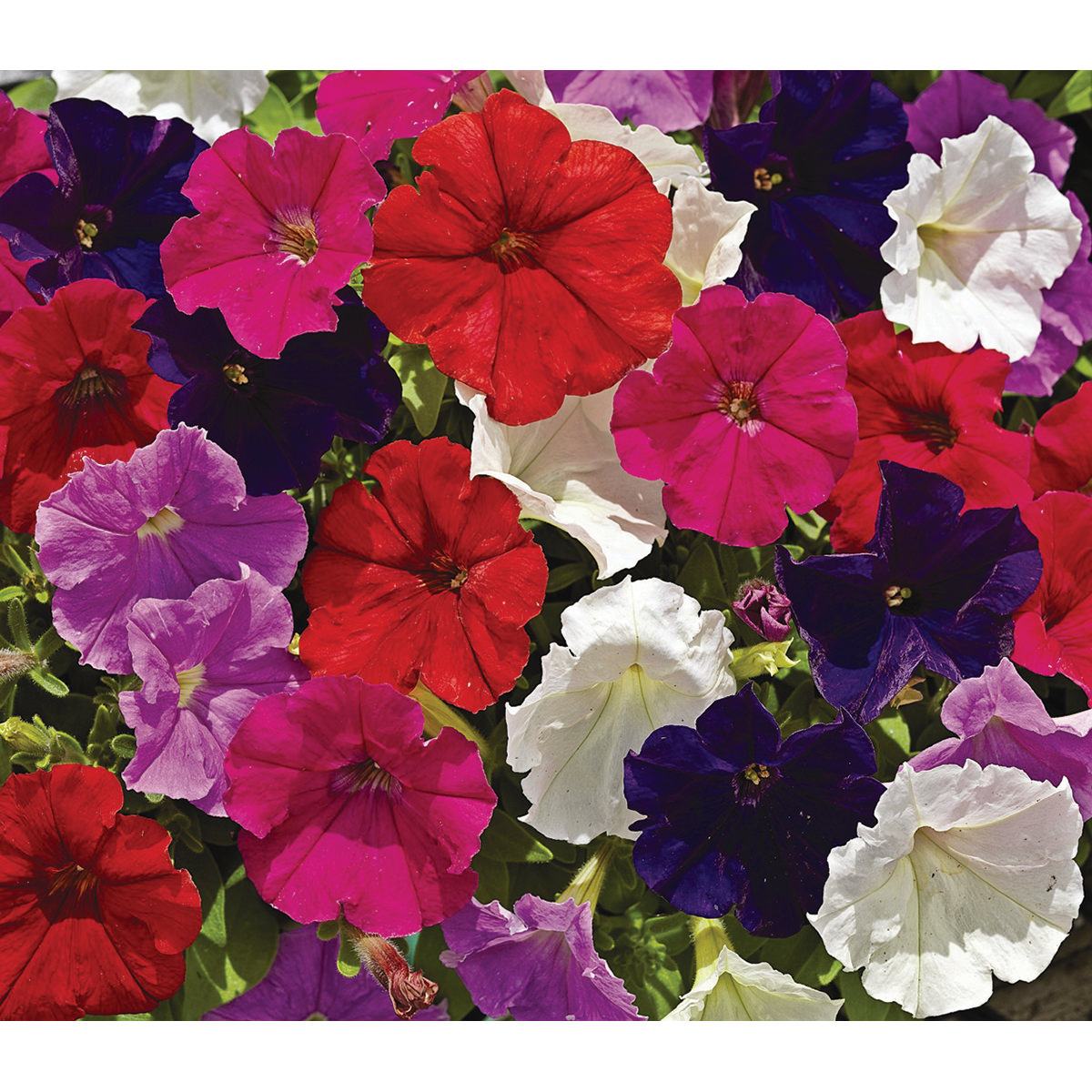how to grow petunias from seed