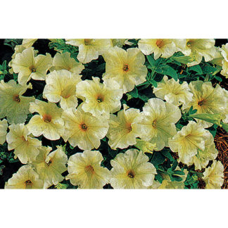 Prism Sunshine Single Grandiflora Hybrid Petunia