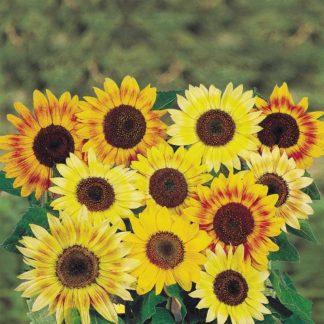Musicbox Mix Sunflower Seeds