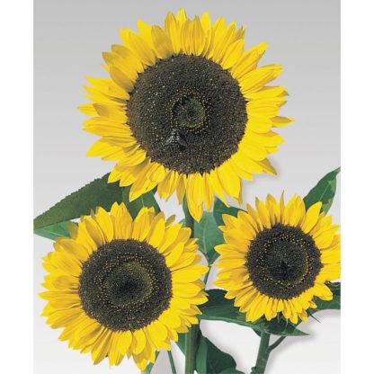 Cutting Gold Sunflower