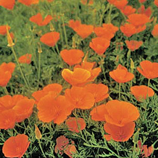California Single California Poppy