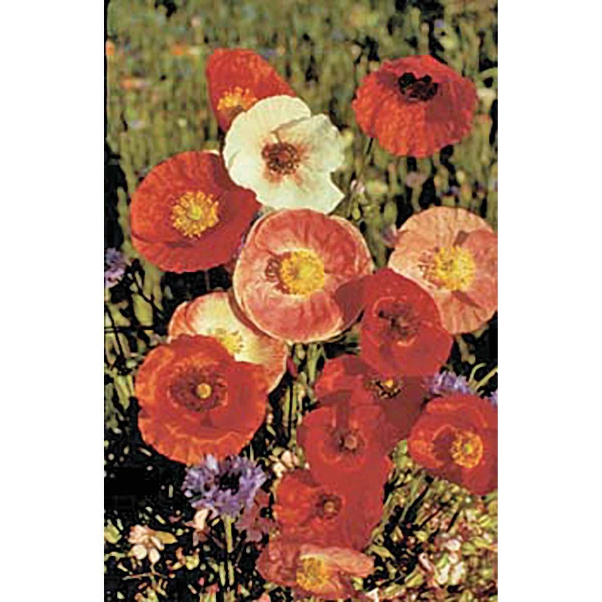 Shirley double mix corn poppy seeds ne seed shirley double mix corn poppy seeds mightylinksfo