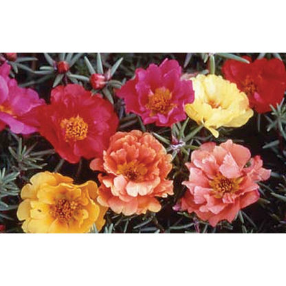 Double Mix Portulaca