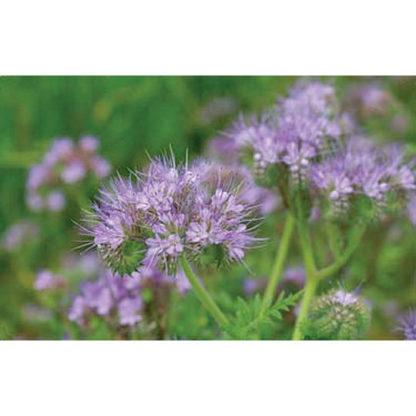 Purple Tansy Wildflower