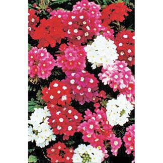 Ideal Florist Strain Verbena