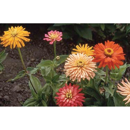 Giant Cactus Flowered Mix Zinnia
