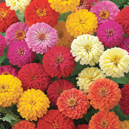 Dreamland Hybrid Mix Zinnia