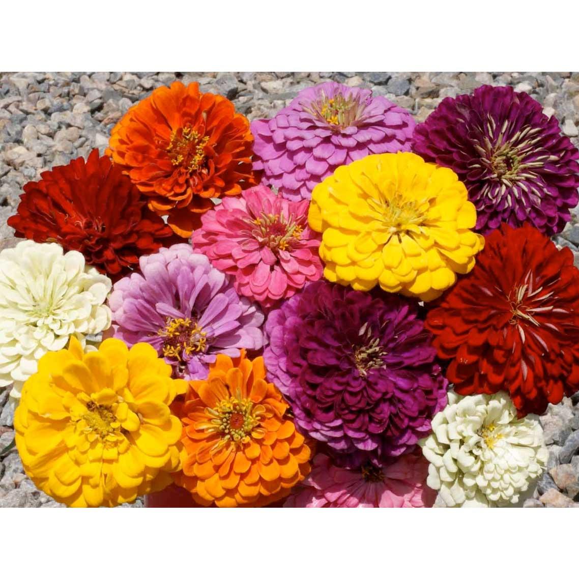 Dahlia Flowered Mix Zinnia Seeds