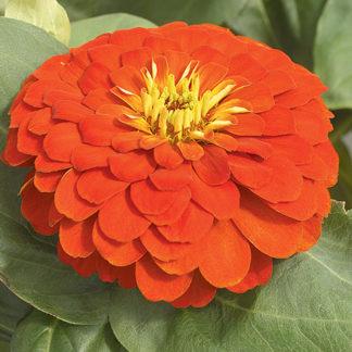 Magellan Scarlet Zinnia