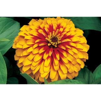 Swizzle Bicolor Scarlet & Yellow Zinnia