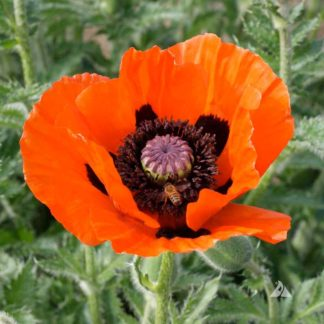 Scarlet Poppy Seeds