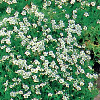 Pearlwort Sagina