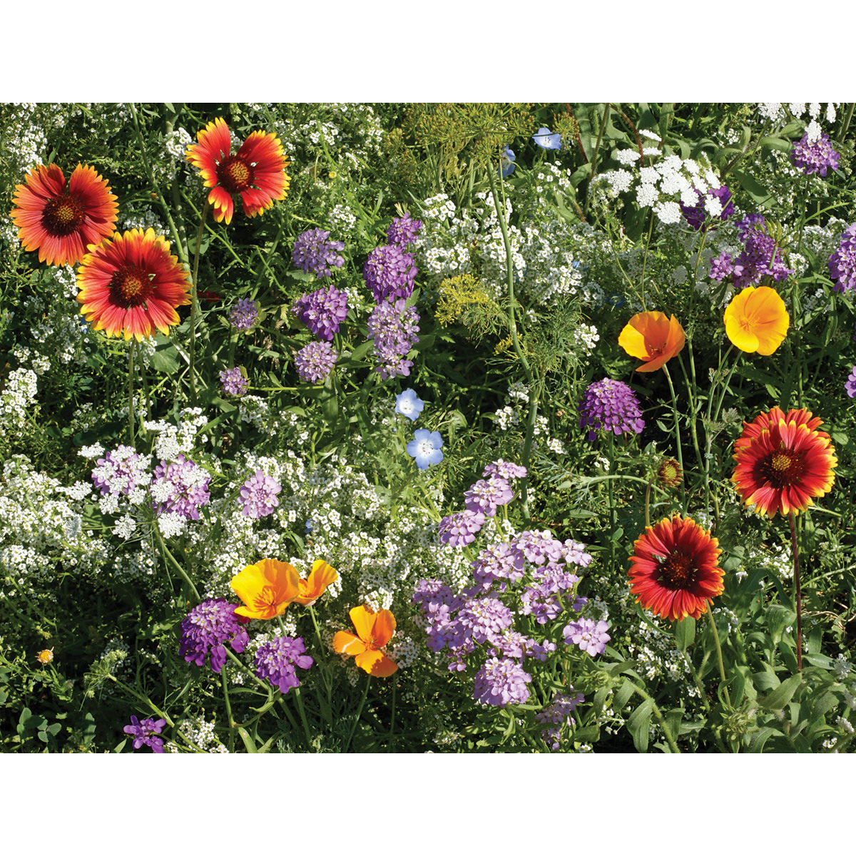 Beneficial Bug Wildflower Seed Mix Ne Seed