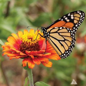 Monarch Butterfly Wildflower Mix