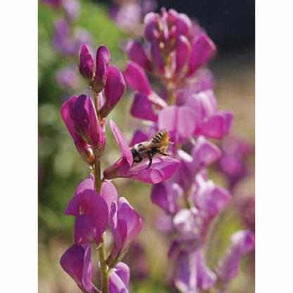 Western Pollinator Wildflower Mix