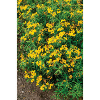 Mexican Mint Marigold Heirloom (Spanish Tarragon)