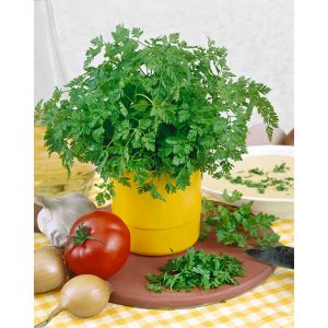 Curled Chervil